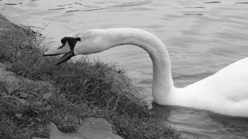 swan waters black and white