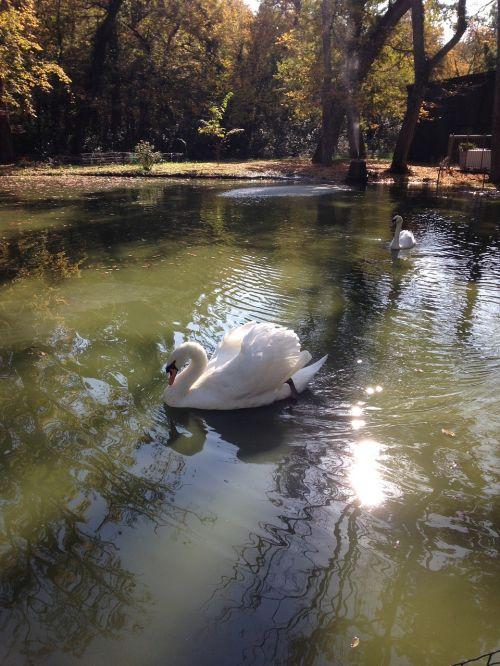swan nature majestic