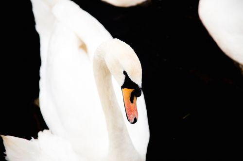swan anatidae bird