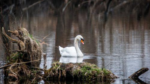 swan bird white