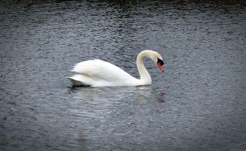 swan water bird swans