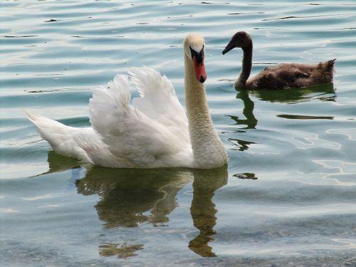 swan swans waters