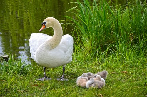 swan family chicks