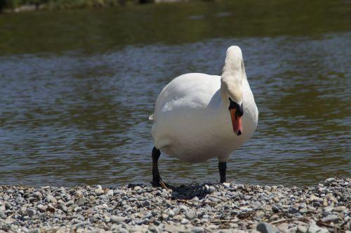 swan white bank