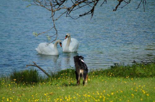 swan dog water