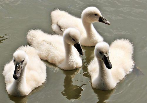 swan baby swan baby swans