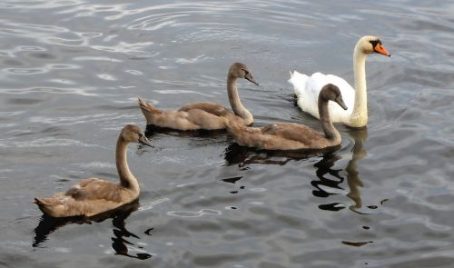 swan swans animals