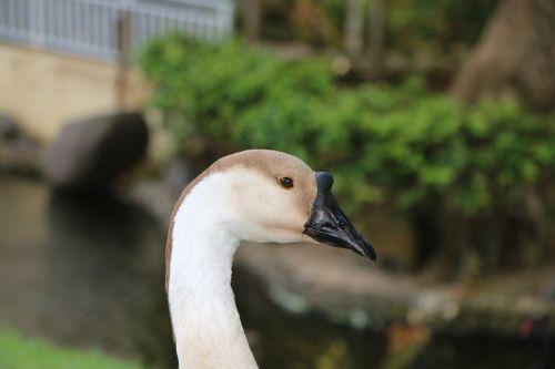 swan black bill boss