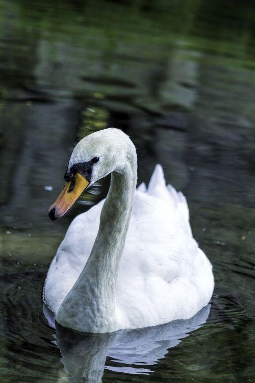 swan bird swans