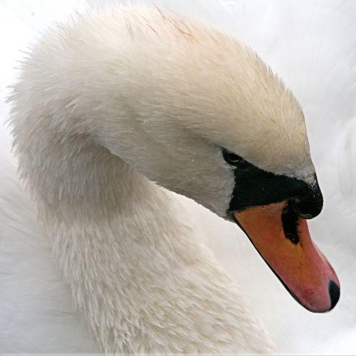 swan mute white