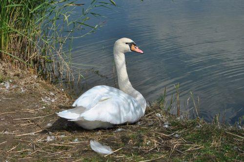 swan mute swan water