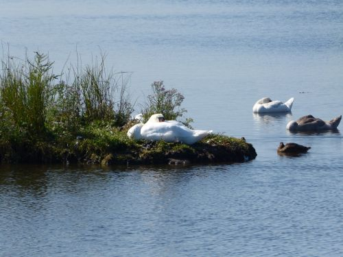 swan baltic sea geltinger bakshi