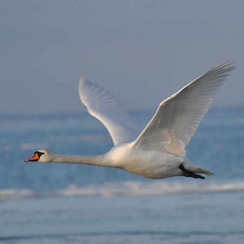 swan denmark expensive
