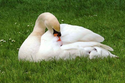 swan mute swan white