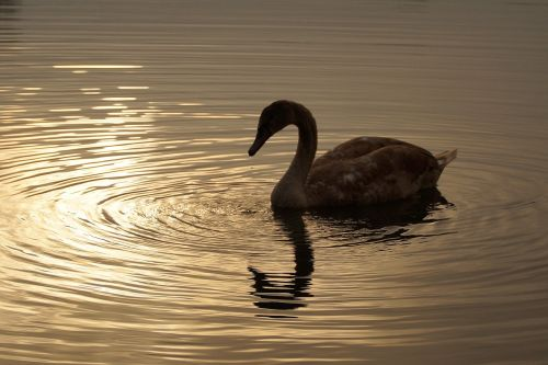 swan young cub