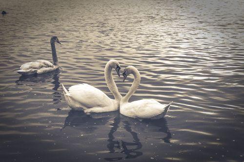 swan nature animal