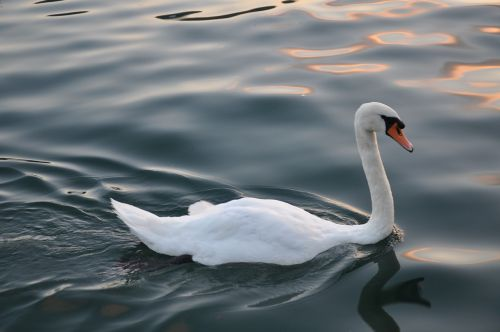 swan bird wildlife