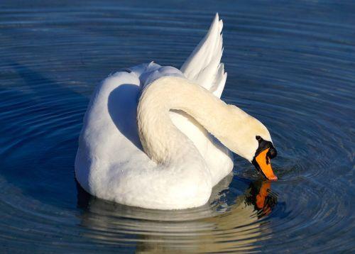 swan white water