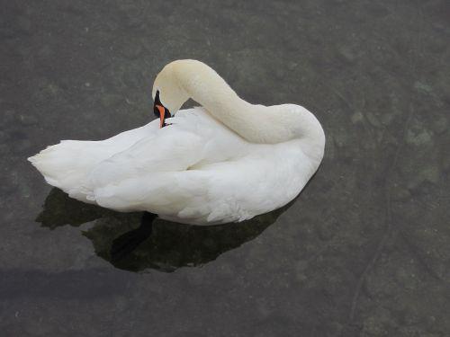 swan clean up river