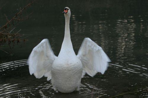 swan animal wing beat