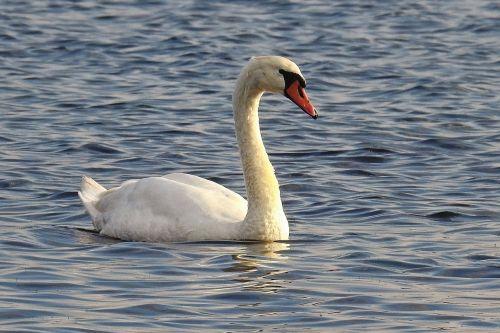 gulbė,vanduo,ežeras,paukštis,vandens paukštis