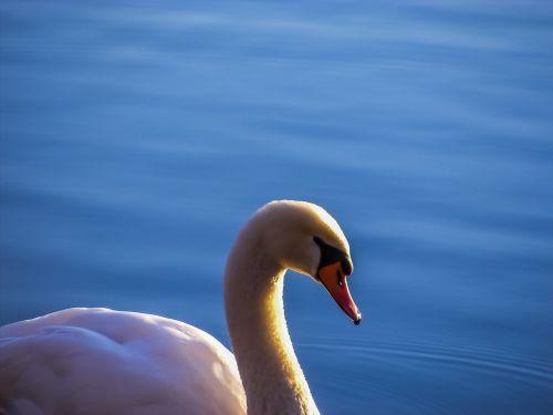 swan lake water