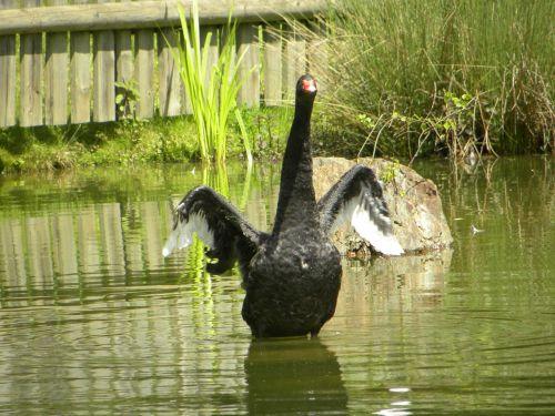 swan nero pond