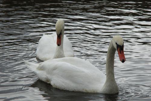 swan love bird
