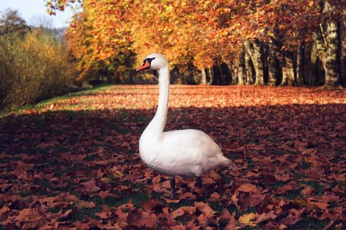 swan,autumn,case,bird,water,leaves,orange,fall color,fall foliage,golden autumn,leaves in the autumn,sunny,on the ground,beautiful,still,rest,nature