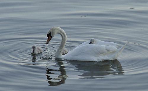 swan cub bird