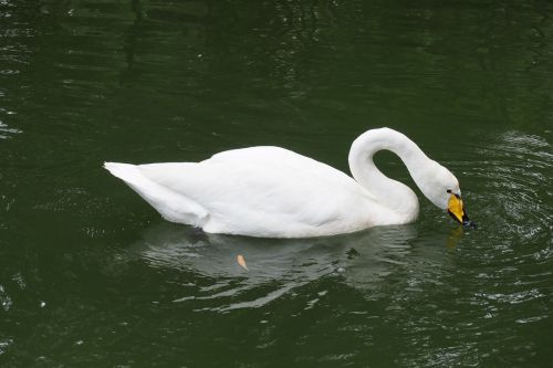 swan the white swan swim