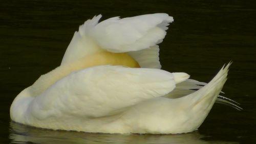 swan swans water