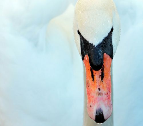 swan bird duck bird