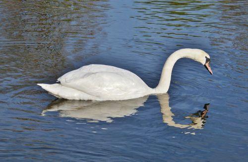 gulbė,paukštis,vandens paukštis,gyvūnas,balta,schwimmvogel,ežeras,vanduo,tvenkinys