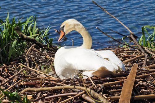 swan nest nature