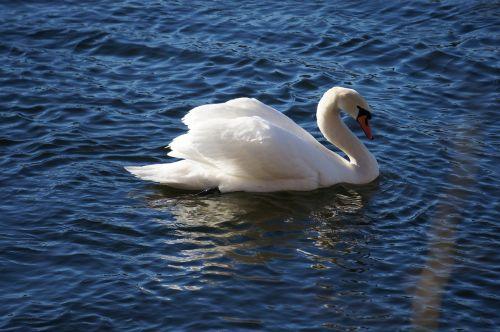 swan lake mälaren spring