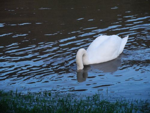 swan water bird animal world