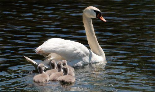 swan water bird pride