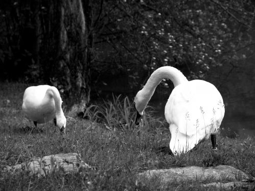 swan poultry swans