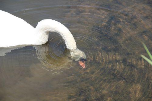 swan head immersion