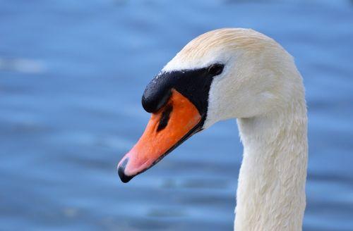 swan,swan head,water bird,bird,bill,head,white,pride,elegant,nature,animal world,animal