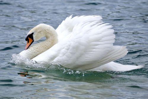 swan swim bird