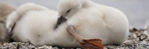 swan chicks cute