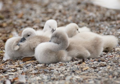 swan chicks young animals