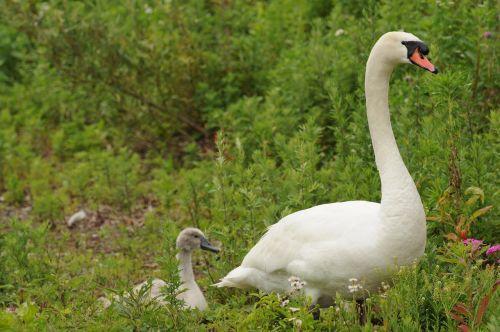 swan parent child bird