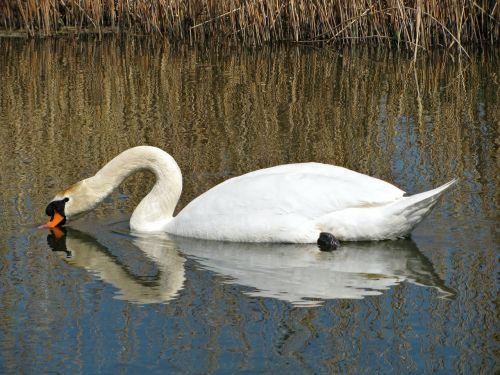 swan water pond