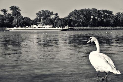 swan ferry rhine