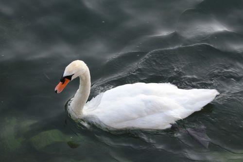 gulbė,paukštis,paukštis ežere,fauna,grakštus,elegancija,laukinė gamta