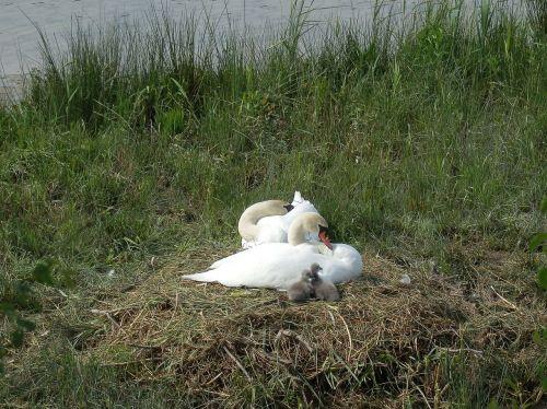 swan swans breed