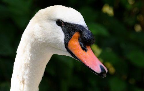 swan neck bill
